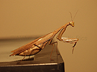Adult Chinese Female Praying Mantis Lucky On Cage - Bronze