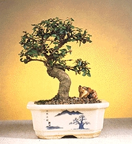 Chinese Elm-Small
